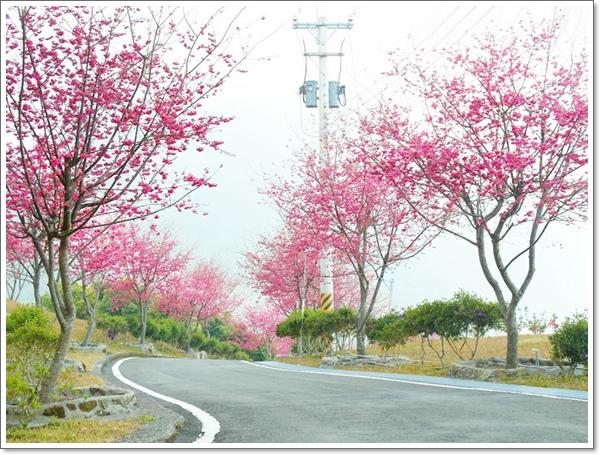 阿里山櫻花11.jpg