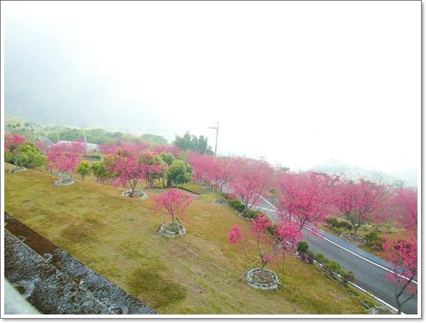 阿里山櫻花12.jpg