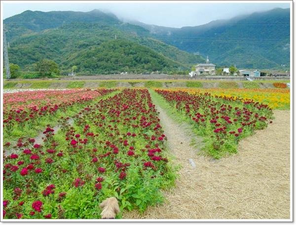 關山花海14.jpg