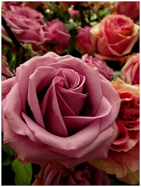 紫色的玫瑰