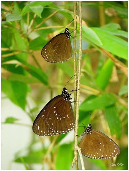 大坡池畔的蝴蝶