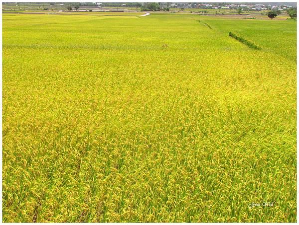 滿滿的稻穗
