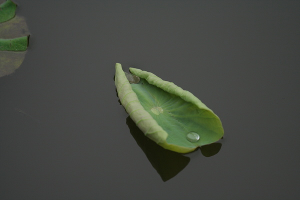蓮與蛙 140.jpg