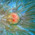 048 壯麗雙輻海葵11.jpg