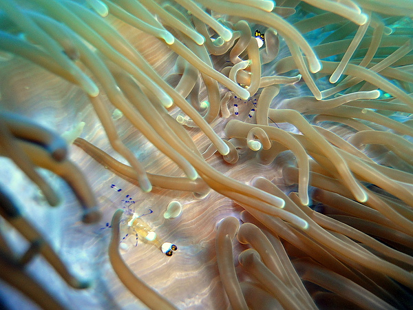 044 壯麗雙輻海葵07.jpg