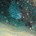 57 海鰻與清潔蝦.jpg