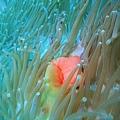 043 壯麗雙輻海葵06.jpg