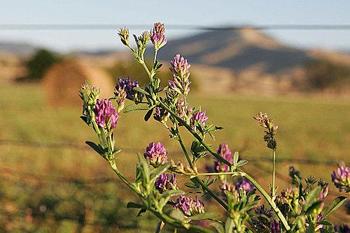 紫花苜蓿1
