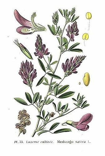 紫花苜蓿2