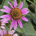 紫錐花之旅05.jpg