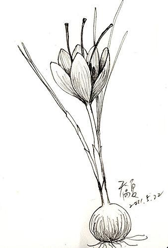 番紅花1.jpg