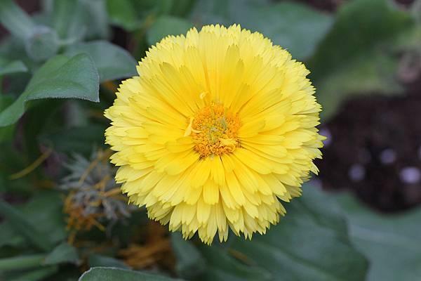 金盞花-1