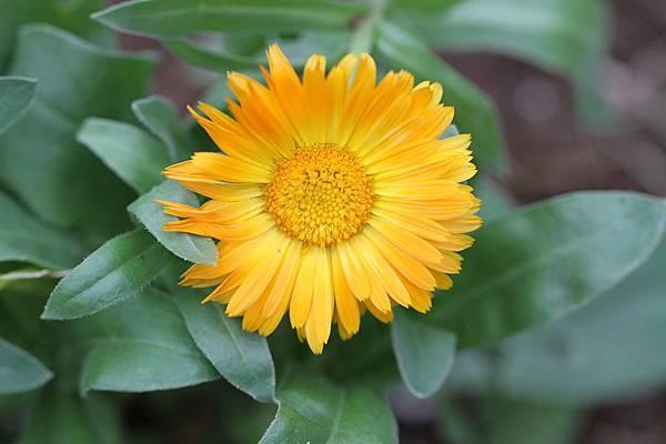 金盞花-2