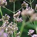 柳葉馬鞭草2.jpg
