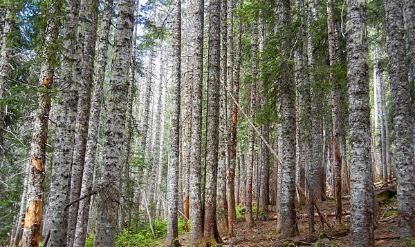 pacific-silver-fir.jpg