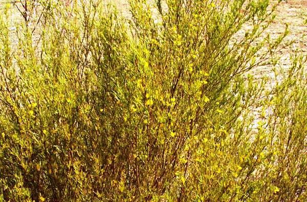 aspalathus-linearis.jpg