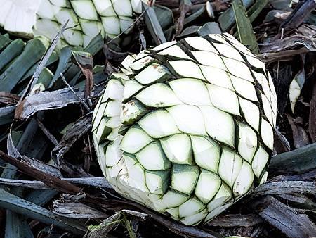 agave2_lg.jpg