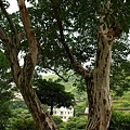這棵樹超特別的