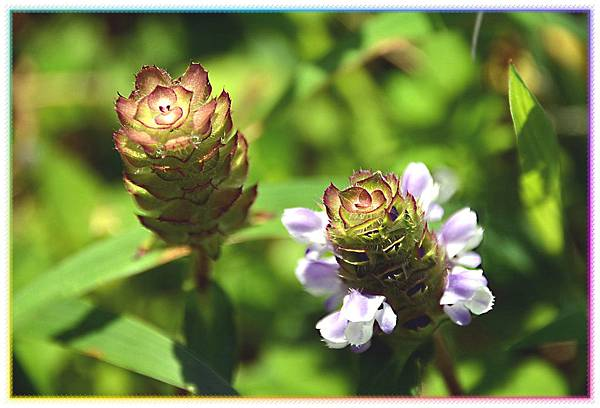 夏枯草 唇形科多年生草本植物
