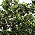 八里柚花IMG_5362