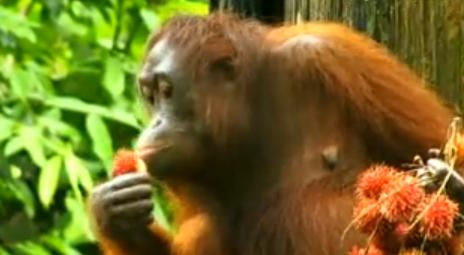紅毛猩猩2.JPG