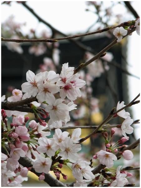 20100328大阪城天守閣櫻花.jpg