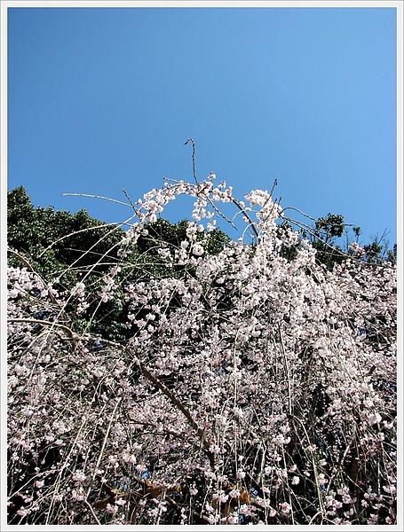 日本京都賞櫻004.jpg