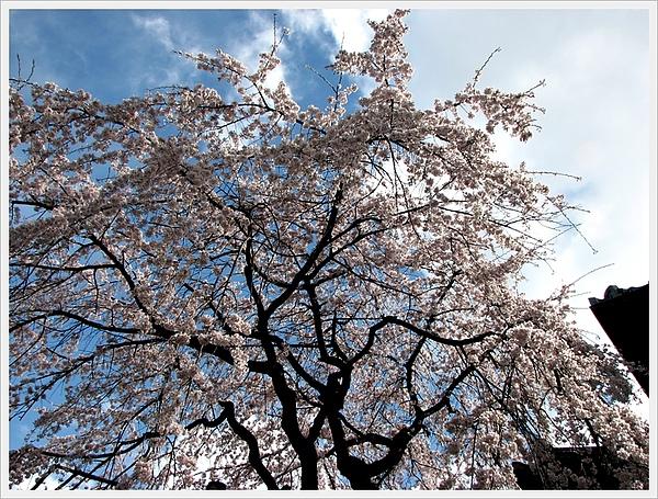日本京都賞櫻028.jpg