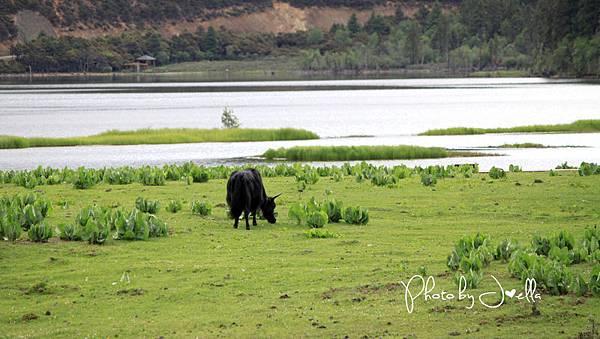 香格里拉2日遊_6普達措國家公園 (1)