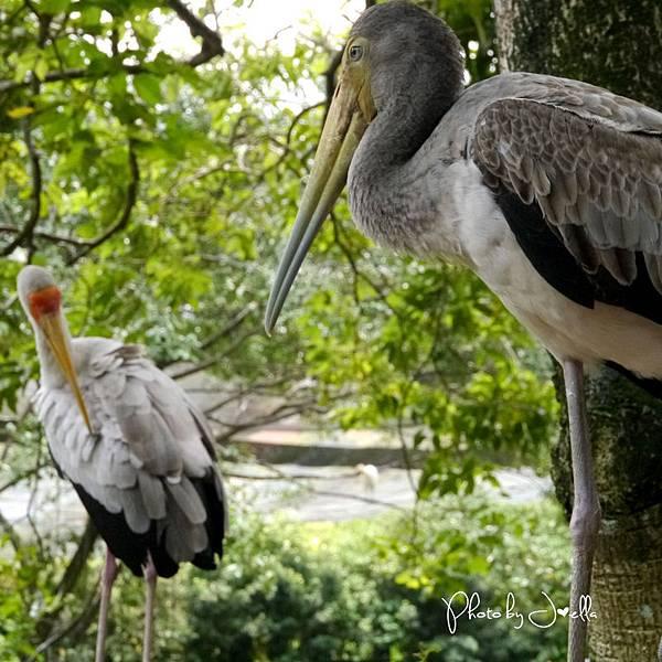 吉隆玻飛禽公園(KL Bird Park) (3).jpg
