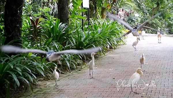 吉隆玻飛禽公園(KL Bird Park) (11).jpg