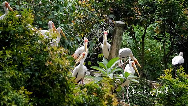 吉隆玻飛禽公園(KL Bird Park) (13).jpg