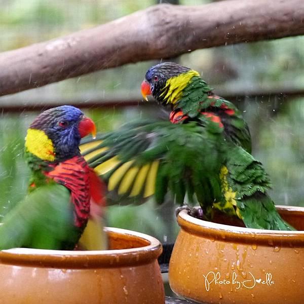 吉隆玻飛禽公園(KL Bird Park) (18).jpg