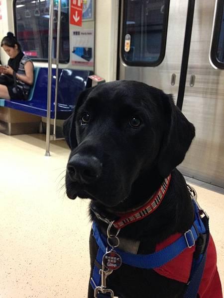 導盲犬-003