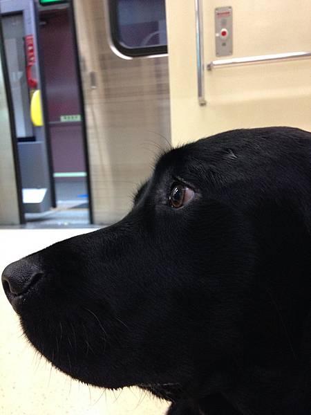 導盲犬-002