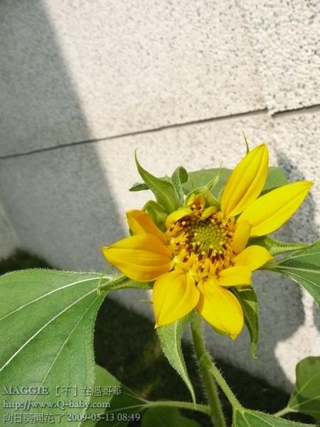 向日葵開花了 07.jpg