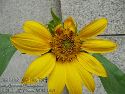 向日葵開花了 09.jpg