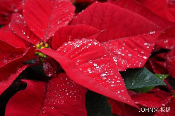 2012新北市歡樂耶誕城~市民廣場 聖誕紅