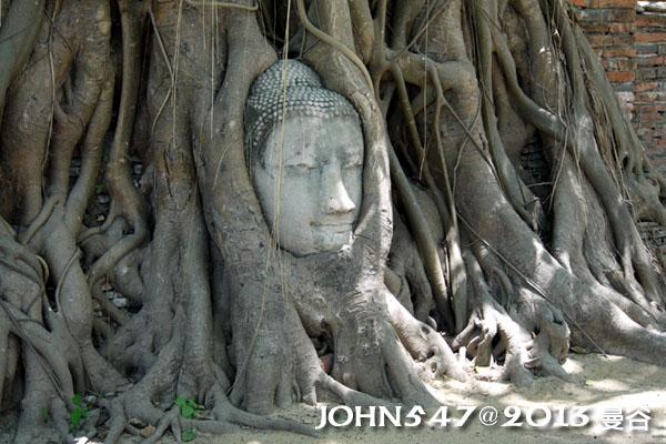 泰國 大城 Ayutthaya 阿育塔亞-14.瑪哈泰寺 Wat Mahathat 樹中佛像
