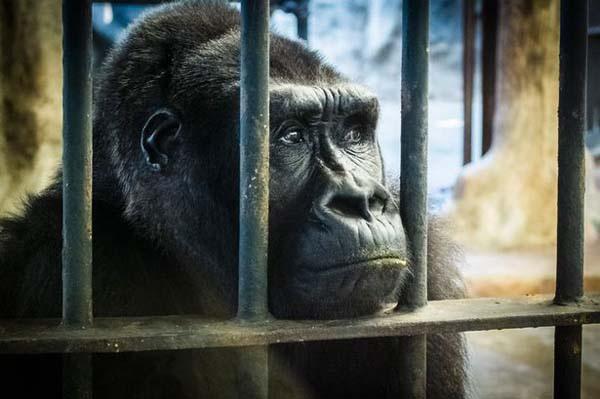 大猩猩Bua Noi在Pata zoo空中動物物園.jpg