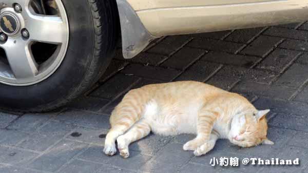 泰國街頭小貓