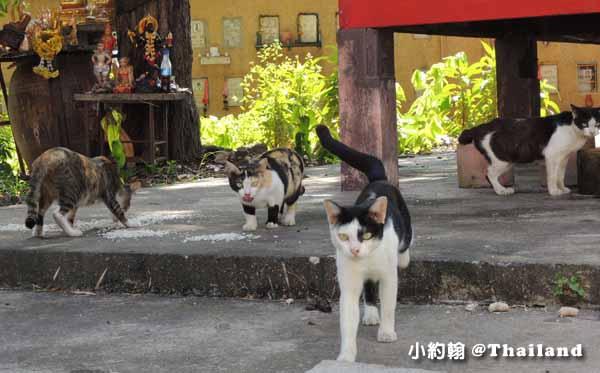 泰國佛寺貓咪群