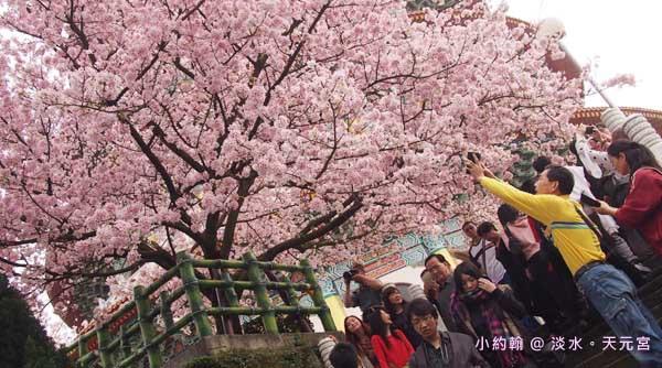 淡水賞櫻花無極天元宮站,台灣山櫻花與日本吉野櫻的愛戀0