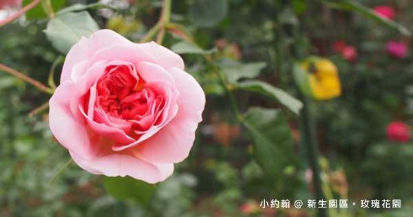新生園區春季玫瑰花園賞花@捷運圓山站花博公園.jpg