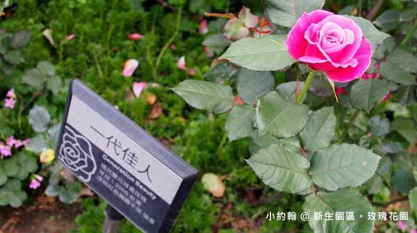 新生園區春季玫瑰花園-一代佳人.jpg