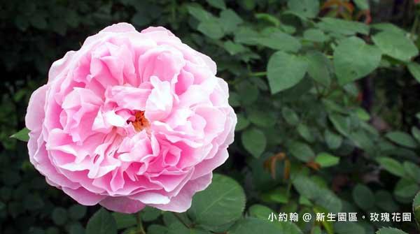 新生園區春季玫瑰花園-巴斯之妻.jpg