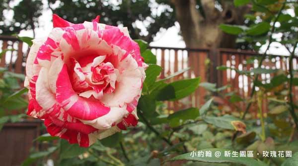 新生園區春季玫瑰花園-白紅.jpg