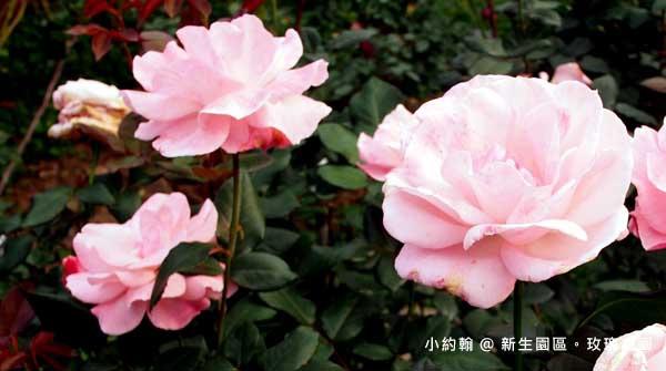 新生園區春季玫瑰花園-伊莉莎白.jpg