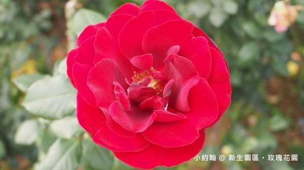 新生園區春季玫瑰花園-紅色1.jpg