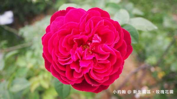 新生園區春季玫瑰花園-紅色2.jpg